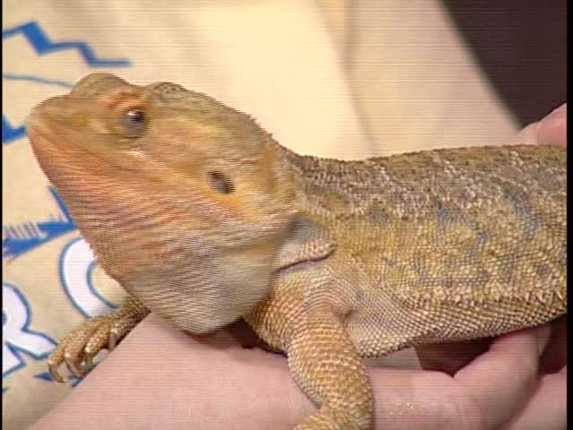 Cheeto the Bearded Dragon Visits Concho Valley Live_54286784-159532